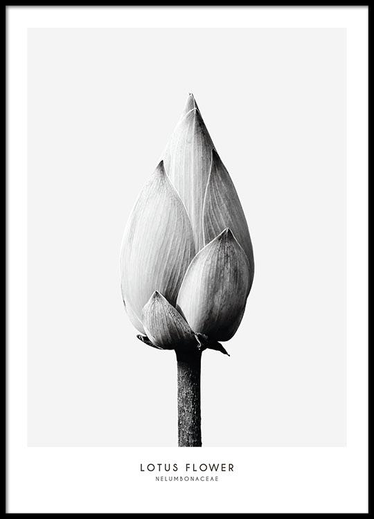 Cartaz botnico a preto e branco com foto de uma flor lotus flower poster no grupo posters botnico em desenio ab 7936 mightylinksfo